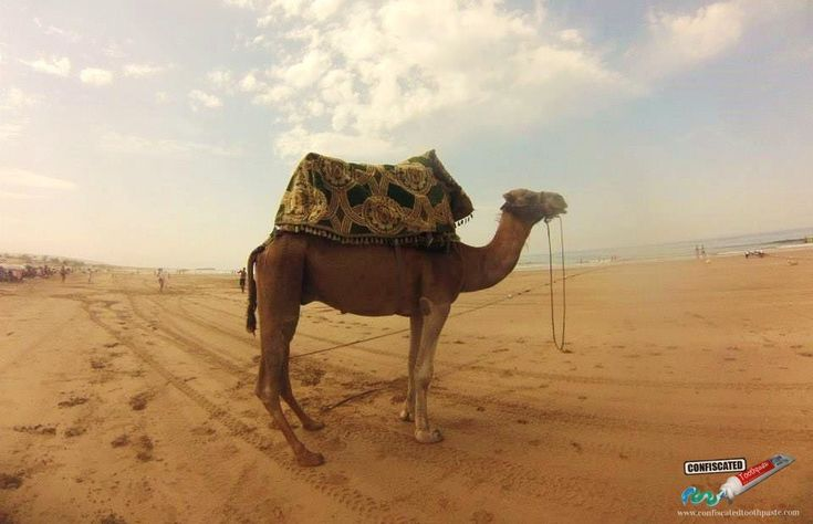 Camel on Tagazhout Beach, Morocco ::::  Madness in Morocco Part 2: Road trips, Moroccan Marriage, Corrupt Officials, Crazy Camels and Sure-Footed Donkeys  --> http://www.confiscatedtoothpaste.com/madness-in-morocco-part-2-road-trips-marriages-corrupt-officials-camels-donkeys/