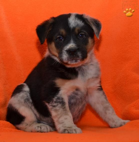 Arnold - Border Collie Mix Puppy for Sale in Applecreek, OH | Lancaster Puppies
