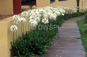 Image result for white agapanthus gardens