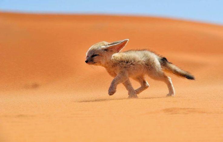 Fennec de woestijnvos