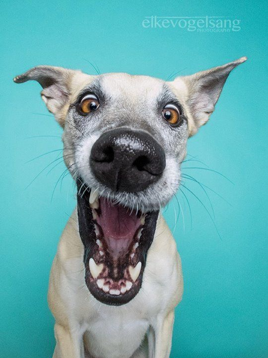 LOL! Loving this goofy pet portrait!  It is so true, dogs have the funniest faces when frozen in a moment.  I will have to use one of Molly lip-flapping pics from the dog park for her next pet portrait painting.