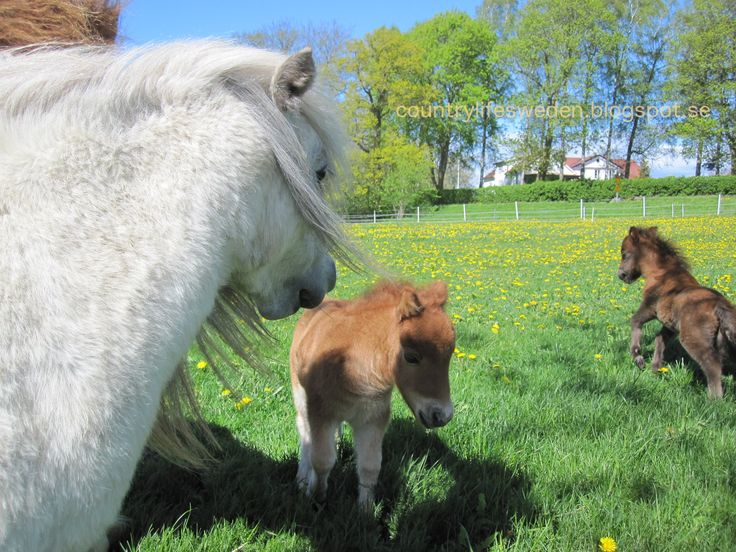 Lovely ponies! countrylifesweden.blogspot.se
