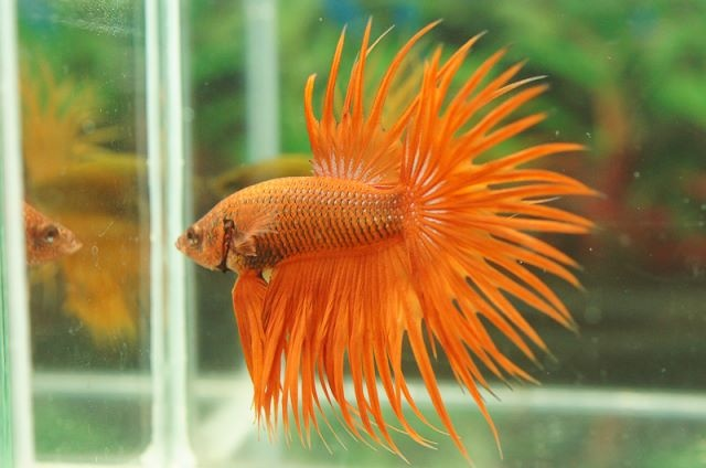 183 Best Images About Betta Fish On Pinterest Copper
