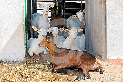 Flock of goats on a goat farm, sitting, daylight. Saanen goats are a white or cream-colored breed of goat, named for the Saanen valley in Switzerland. Saanens are the largest of the goat dairy breeds. Does typically weigh 150 lb (68 kg) or more, with bucks weighing over 200 lb (91 kg). The Saanen breed also produces the most milk on average, and tends to have a lower butterfat content, about 2.5%–3.0%. A Saanen nanny produces around an average of 1 gallon (3.8 litres) a day.Just as Alpines,…