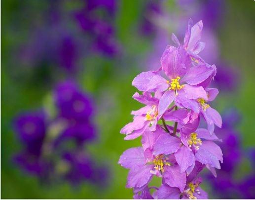 Larkspur,   Flower of July