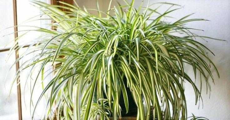 Túto rastlinu by ste určite mali mať doma. So svojimi úžasnými vlastnosťami dokáže zázraky! | Chillin.sk