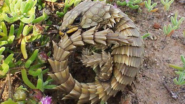 #SabiasQue la hembra del lagarto armadillo mantiene los huevos en el interior hasta su eclosión?http://blog.hagen.es/?p=377 #Reptiles