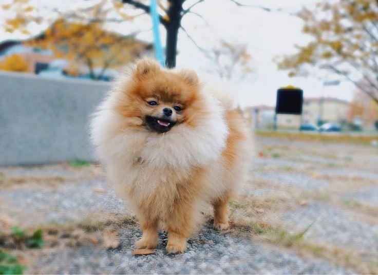 #pomeranian #puppy #poms #pomerania #spitz