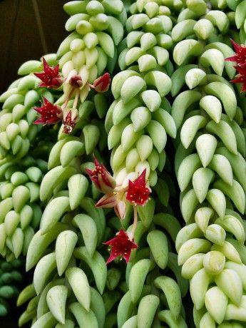 sukulenty - Fotoalbum - Sbírkové rostliny - Sbírkové rostliny - Sedum morganianum