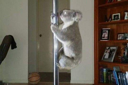 В Австралии дикая коала устроила «танец» на шесте (ВИДЕО)