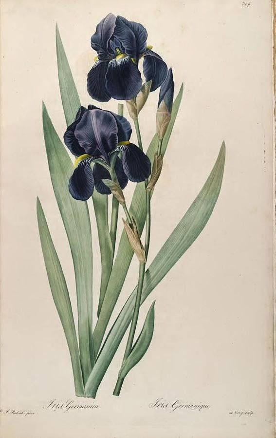 5 FREE images - Beautiful Antique P.J. Redoute` Early Botanical Prints of Iris
