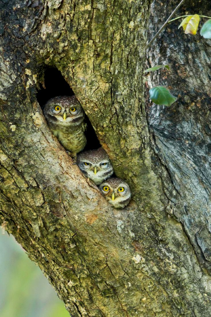 My life in the woods - peek a boo, 3 little owls!
