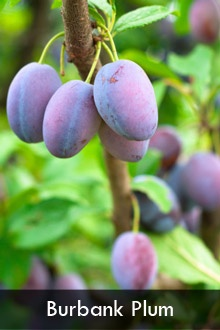 3-in-1 Plum Tree  3 of the Best Plum Varieties from One Amazing Tree