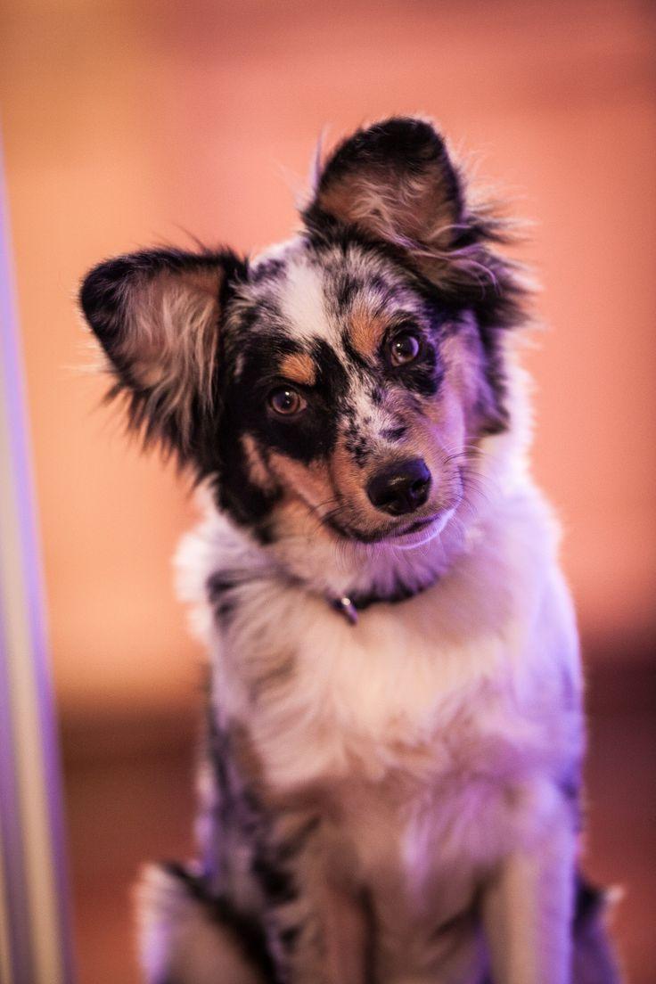 Miniature Australian Shepherd Puppy Dog Mini Aussie