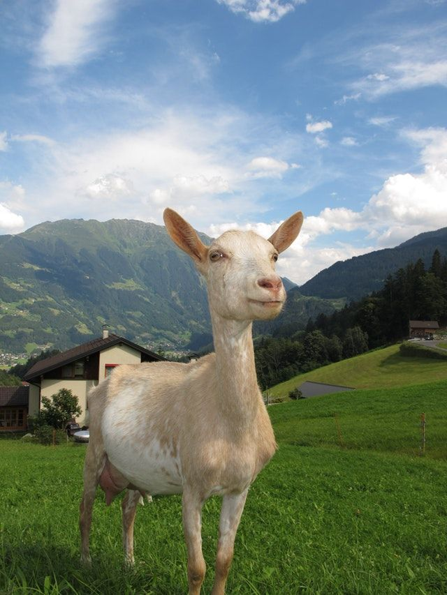 Did Coffee Originate with Dancing Goats?