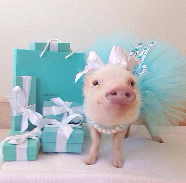 Priscilla the Mini Pig!!