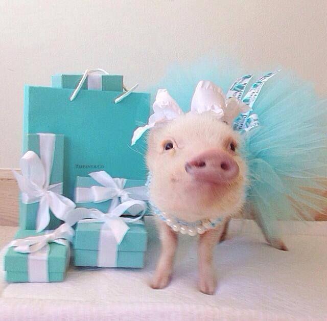 Priscilla the Mini Pig!!