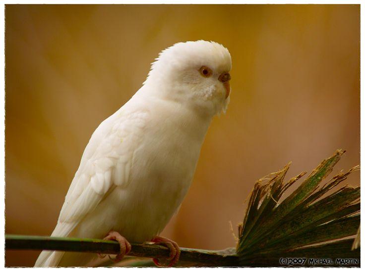 White Baby Parakeet 182 best All White Ani...