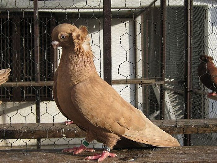 Vratschssschka Pigeons Or Also Known By The Names Culbutant De Vrsac Vrschatschkaer Tummler Capitombolante In Vrsac In 2020 Pigeon Birds Animals
