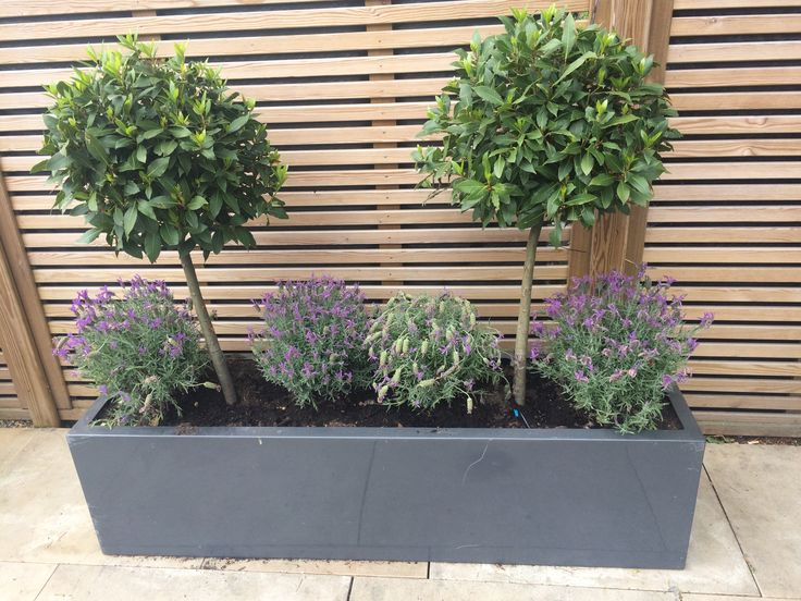 Beautiful bay trees teamed with lavender in a stylish grey rectangular pot.
