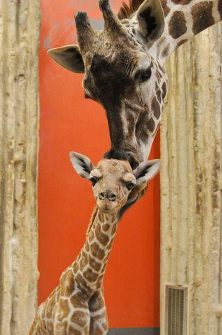 Surprise! Denver Zoo welcomes baby giraffe Dobby - 7NEWS Denver TheDenverChannel.com