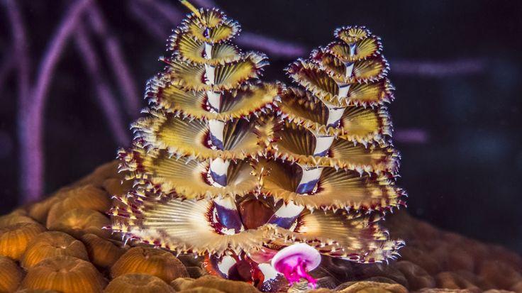 Der Weihnachtsbaumwurm Spirobranchus giganteus-Was wie Gewächse aus einem Fantasieland aussieht, sind die spiralförmig gewundenen Fangarme eines Kalkröhrenwurms. Die Tiere, die meist Korallenstöcke bewohnen, haben hochempfindliche Sinnesorgane. Jeder der bis zu zehn Zentimeter langen Würmer hat zwei Tentakelkronen, die sowohl der Ernährung als auch der Atmung dienen. Sie können bei Gefahr blitzartig in die Wohnröhre des Wurms gezogen werden. Anschließend wird der Röhreneingang von einem…