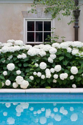 white hydrangeas by the pool