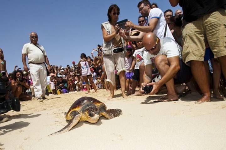 Suelta de una tortuga boba en Corralejo