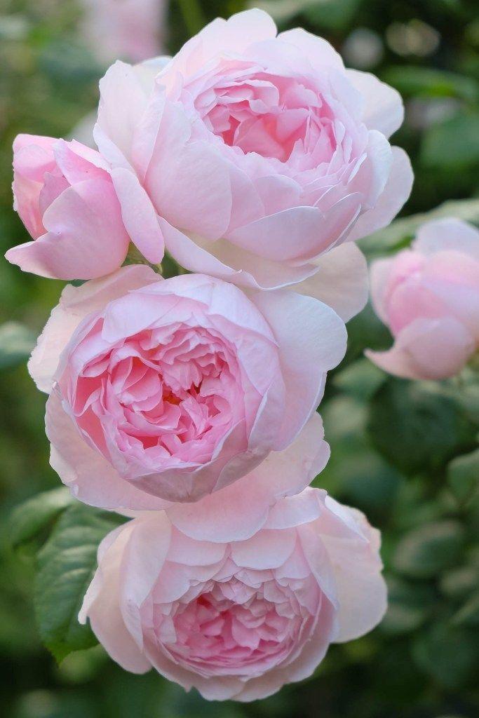 Top 10 englische Rosen, # 2