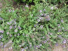 Pennyroyal - Wikipedia, the free encyclopedia