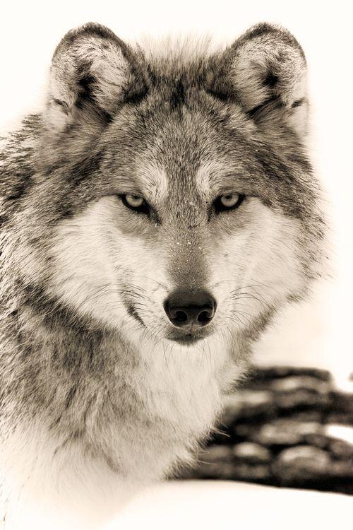 "Wolf : Teacher, Pathfinder (photo ""You Are My Voice"" by Scott Denny)"