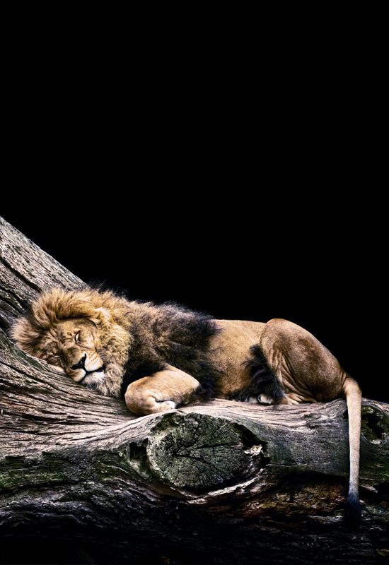 Lion snuggled up asleep on huge log, tree branch. This is beautiful nature photography.