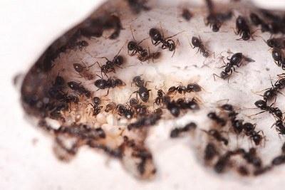 5 Repelentes naturales y económicos para hormigas.