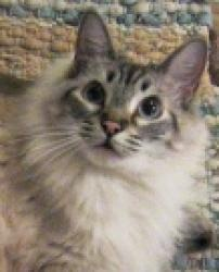 Ragdoll cats for sale in san antonio texas