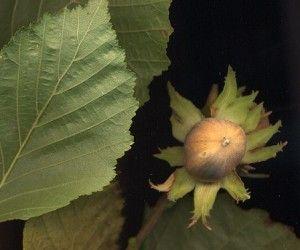 Les Amérindiens en avaient une utilisation traditionnelle qui a été reprise par les colons occidentaux. La Commission E, l'ESCOP et l'OMS reconnaissent l'usage de l'hamamélis pour soigner les varices et les hémorroïdes ainsi que les contusions, les entorses, les plaies mineures et les inflammations locales de la peau et des muqueuses. L'ESCOP lui reconnaît également Le Noisetier, emblème de la connaissance dans TAO des arbres des vertus pour le traitement de la sensation de l