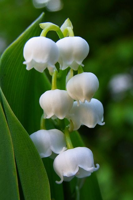 """I LOVE """"Lily Of The Valley""""! My parents had them planted along the house in our backyard. Such delightful memories!"""