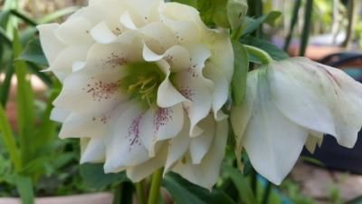 Love the dusting of pink specks on this hellebore