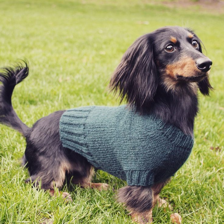 "Max poses in the all new, ""Cloud 9"" mini dachshund sweater."