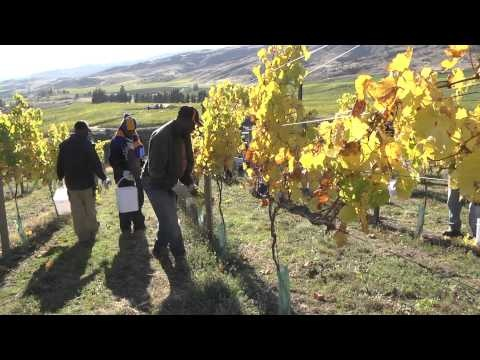 Grass skirts and Hawaiian shirts - harvest 2012 gets underway at Mt Difficulty, Central Otago, NZ