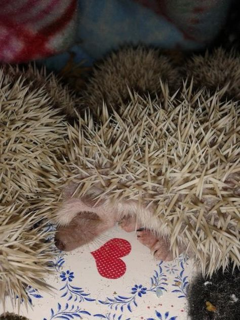 Baby African Pygmy Hedgehogs for sale