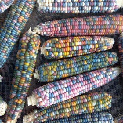 GLASS GEM CORN: Cherokee rare corn farmer Carl Barnes spent years isolating Native American corn varieties to save a lost heritage, ultimately preserving his glass gem corn seed.
