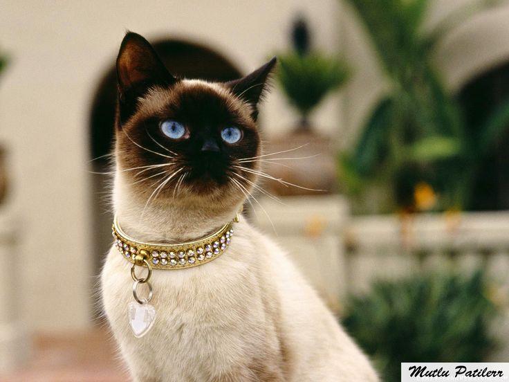 Mutlu Patilerr: Siyam Kedileri ve Bakımı...