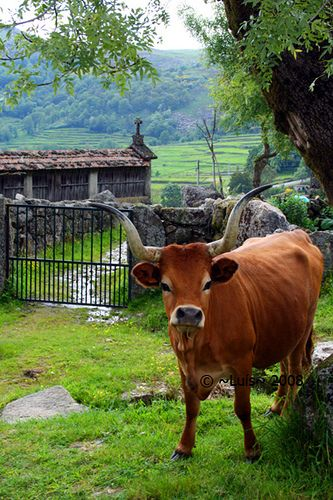 Peneda Gerês by HDG3N3RATION, via Flickr #cattle_portuguese_indigenous_breed