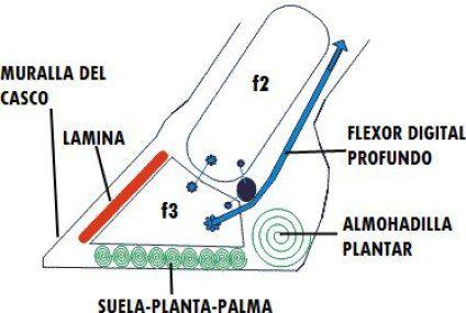 Laminitis (Infosura) Blog AQHA Caballos de Carreras como se trata la laminitis como tratar laminitis infosura Laminitis laminitis en equinos que es laminitis StallionMexSearch