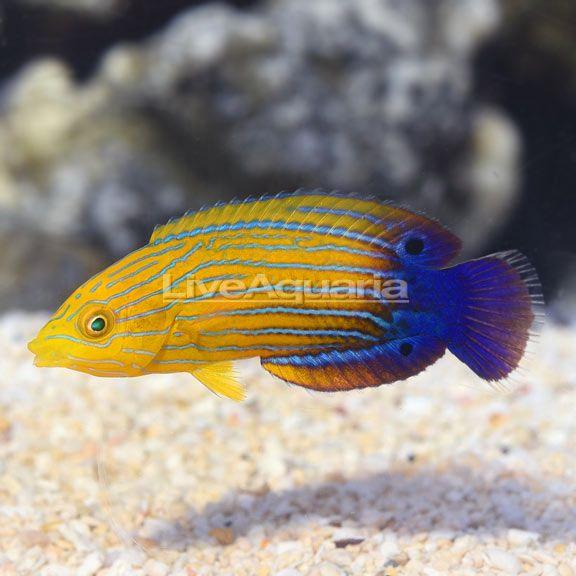 Liveaquaria Anampses Femininus In 2020 Fish Pet Pets Fish