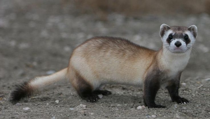Black Footed Ferret Black Footed Ferret Ferret Animals