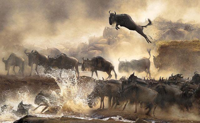 Wildebeest photograph, Bonnie Cheung