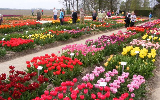 Holland's longest tulip route can be found in the Noordoostpolder in Flevoland. Over 100km through nearly 2500 acres of colourful fields make this one of the world's most beautiful routes.