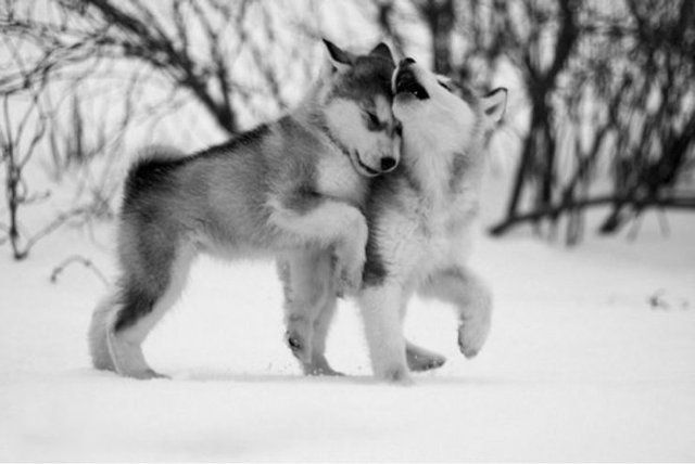 Alaskan Malamutes Puppies  CUTEEE!!!! i so gonna get a husky when I'm married :)!