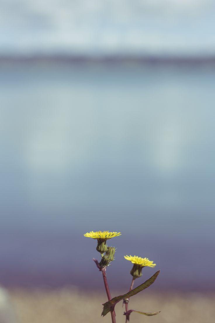 dandelion. waitawa.
